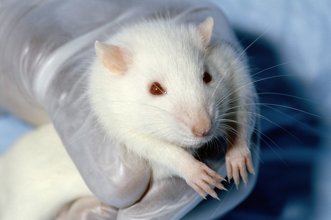 001 Wistar Rat Research Paper Animal Rights Topic Archaicawful Ideas 1400