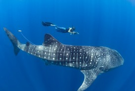 015 Stella Diamant Whale Shark Researcher With Tagged Off Nosy Madagascar Research Paper Marine Biology Phenomenal Topics