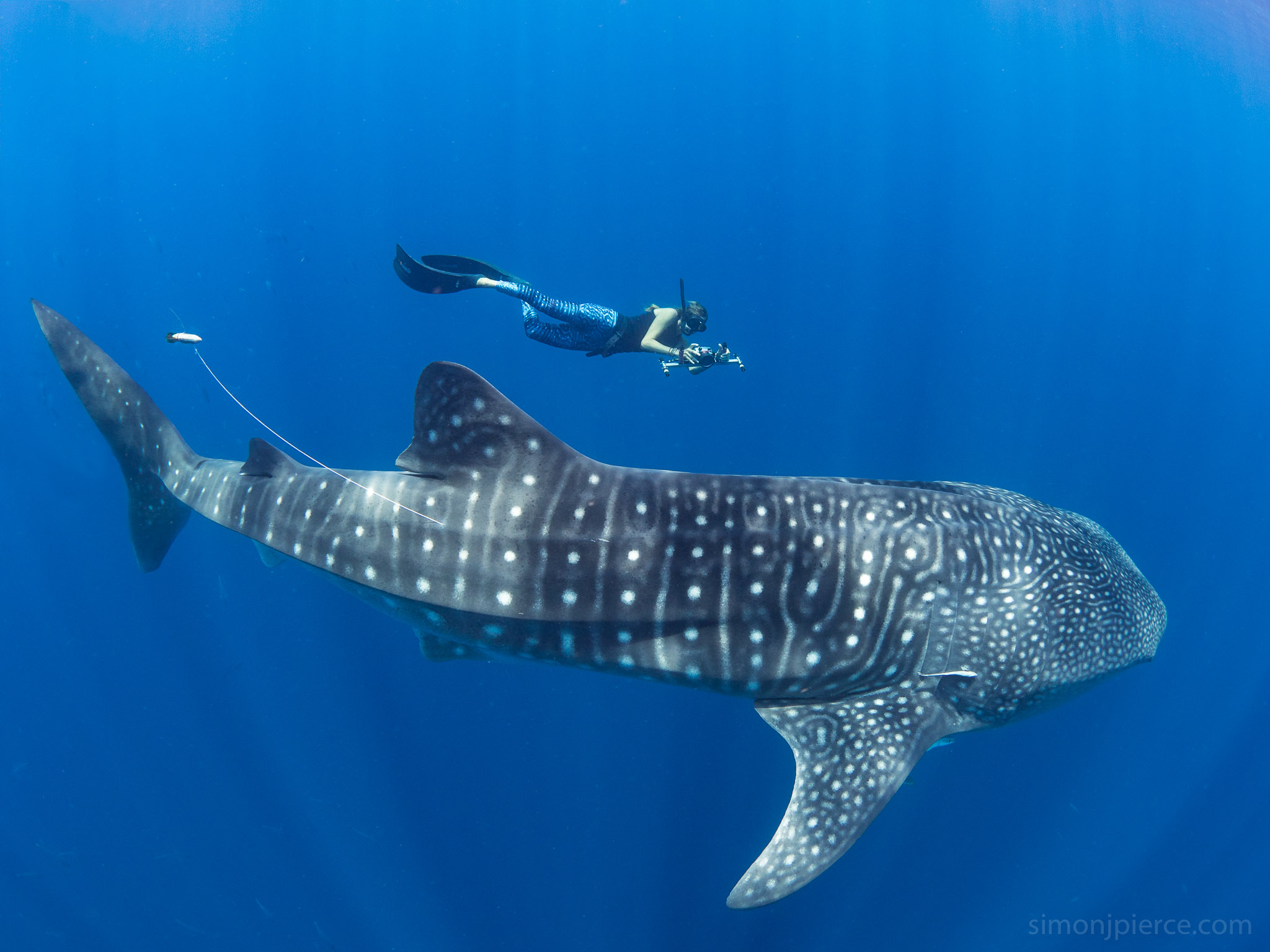 015 Stella Diamant Whale Shark Researcher With Tagged Off Nosy Madagascar Research Paper Marine Biology Phenomenal Topics Full